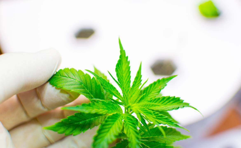 medicinsk cannabis er lovligt